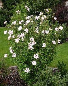 hibiscus struik mooie bloeiende struik voor in de border