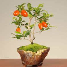 盆栽:ろうや柿 persimmon - http://topics.shopping.yahoo.co.jp/blog/outside_recommend/2010/10/20101026_post_343.php