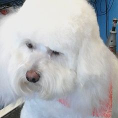 Lucy #tucsondoggrooming #wagsmytail #doggrooming A well groomed dog is a well loved dog! Call us today to schedule your dog grooming appointment 520-744-7040