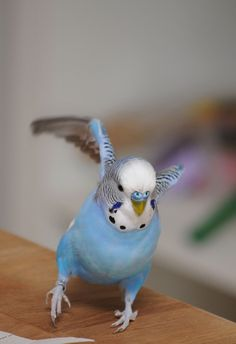 one of my budgies. All Birds, Cute Birds, Pretty Birds, Beautiful Birds, Animals Beautiful, Little Birds, Budgie Parakeet, Parakeets, Cat Art