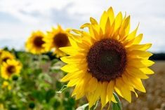 Photoshop, Spanish, Plants, Field Of Sunflowers, Paisajes, Vector Format, Class Jobs, Apps For Education, Social Networks