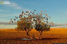 Cacatuas- desierto de Australia