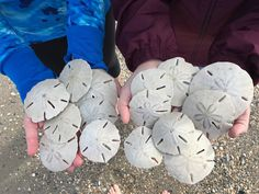 The most commonly found variety of sand dollars along the North Carolina coast is flattened and round with a petal-like formation on the top. Much folklore surrounds the sand dollar, including mythical tales of them being the coins of mermaids. North Carolina Beaches, Western North Carolina, South Carolina, Emerald Isle North Carolina, Cool Places To Visit, Places To Travel, Places To Go, Morehead City, Outer Banks Nc