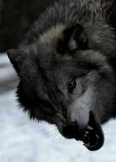 Böser Wolf - Canis lupus by occidentalisgerckens.photo