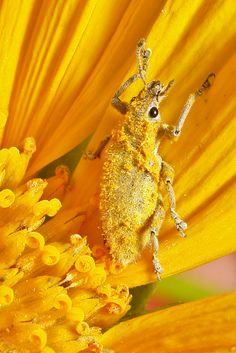 https://flic.kr/p/aXEuRD | Gold Dust Weevil attempting a disguise....using gold dust. | Gold Dust Weevil (Hypomeces squamosus) Pu'er, Yunnan, China