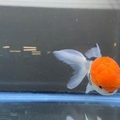 Oranda Goldfish, Funny Animals, Cute Animals, Pretty Fish, Going For Gold, Animal Room, Fishing Quotes, Exotic Fish, Tropical Fish