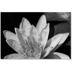 Trademark Fine Art Water Lily in Black and White Canvas Art by Kurt Shaffer, Size: 12 x 19, White