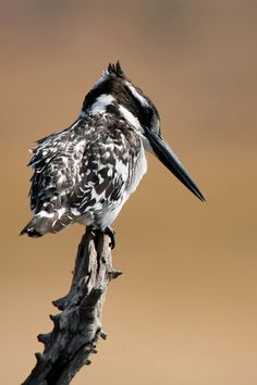 Bonte IJsvogel in Zuid-Afrika