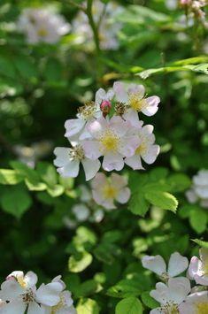 찔레꽃 (장미과)과 전설