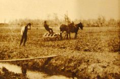 Rice farming at Hofwyl-Broadfield Plantation in 1886 (photo courtesy of the Hofwyl-Broadfield Plantation Archives)