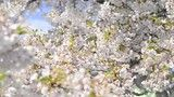 Stock Video of Cherry sakura blossom tree closeup macro view slowmotion sun pink white at Adobe Stock Royalty Free Video, Blossom Trees, Stock Video, Stock Footage, Close Up, Pink White, Cherry, Faith, Sun