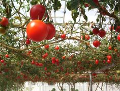 Most of us use a tomato cage or single pole trellis to support the plant as it grows and fruits. However, there is another new method, a vertical trellis for tomato plants. Intrigued? The question is how to make a tomato trellis? Find out here.