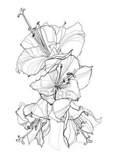 hibiscus flower pencil drawing on white background