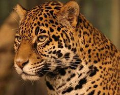 Picture 4 of 8 - Pictures and Images - Jaguar (Panthera onca) - Animals - A-Z Animals - Animal Facts, Information, Pictures, Videos, Resources and Links