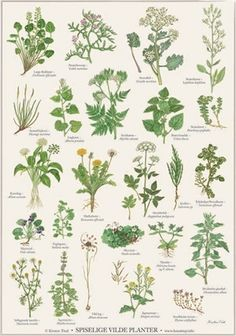 Koustrup & Co. plakat i - krydderurter - Hokus Krokus Poster Shop, Poster Prints, Wall Prints, Botanical Illustration, Botanical Prints, Oxalis Acetosella, Foeniculum Vulgare, Flora Danica, Plants Are Friends