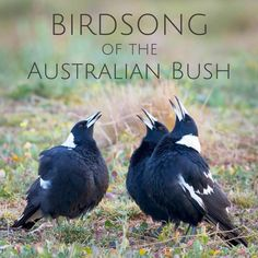 'Birdsong of the Australian Bush' - Album Sample by Wild Ambience on SoundCloud Australian Bush, Australian Birds, Australian Garden, Sounds Of Birds, Nature Sounds, New Zealand Wildlife, Carol Songs, Australia Animals, Bird Species