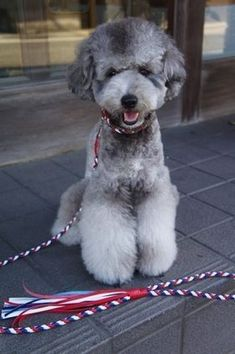 Poodle silver. Fluffy legs