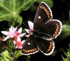 borboletas raras - Pesquisa Google