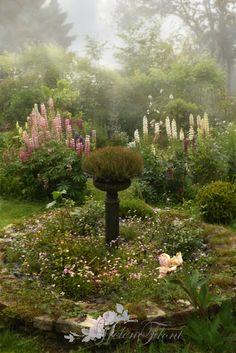 Brumes et lupins - Photo © Hélène Flont‿ ◕✿: jardin