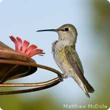 We've had some hummingbirds in our backyard through the years, but we've added more flowers that they like and a hummingbird feeder, plus nesting materials so they can nest in our yard.  Hopefully we'll see even more this summer!!