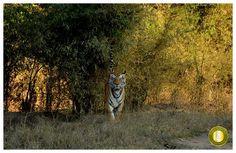 Eye to Eye  #Munna the most popular #Tiger at #KanhaNationalPark  Photo Courtesy: Mahes Gurung(Sr. Naturalist at Kanha Earth Lodge)  To know more about Kanha Earth Lodge visit: www.kanhaearthlodge.com