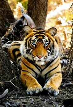 Uau ! Meu signo chinês é tigre..