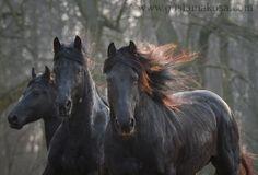 Friesians: Torek, Haike, Wolter Gosia Mąkosa Equine Art & Photography, Poland
