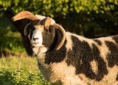 Elevage du Martinaa: Dyonisos Mouton de Jacob du Martinaa