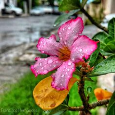 """Es la misma flor del post anterior llamada flor del desierto aunque no por ello disfruta menos la lluvia. Si tiene una hoja amarilla la cual tras transcurrió su función de utilidad para la planta su la arranco se verá mejor la foto pero me gusta tal cómo está con su """"imperfección"""" que le da personalidad. Quién es perfecto anyway?  #CiudadVictoria #Mexico #Tamaulipas #nature #flower #flora #garden #leaf #summer #blooming #outdoors #bright #floral #petal #season #beautiful #tropical #park…"""