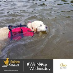 Happy #wetnosewednesday from safety conscious gal Cleo 2250 #goldenretriever #rescuedog #secondchances #adoptdontshop Second Chances, Getting Wet, Rescue Dogs, Adoption, Happy, Safety, Animals, Foster Care Adoption, Security Guard