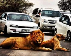 """""""Lions Cause A Traffic Jam In Kruger National Park Johannesburg Airport, Airport Car Rental, Kruger National Park, Afrikaans, Good Ol, International Airport, Lions, South Africa, Wildlife"""