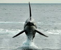 Orca. Now that is how a male Orca should look!