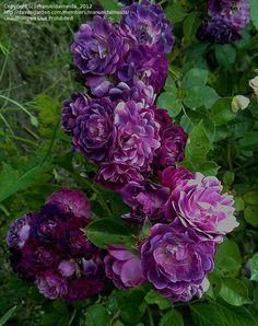 Rambler Rose 'Bleu Magenta' | Daves Garden