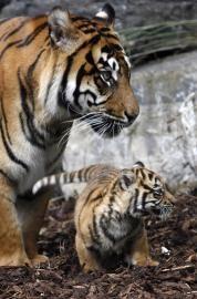 Sumatran tigress and cub