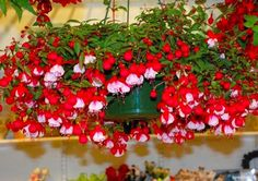 I so love this plant, wish mine would grow like this - Ax Amazing Flowers, Love Flowers, Colorful Flowers, Hanging Flower Baskets, Hanging Plants, Fuchsia Plant, Indoor Flowers, Blooming Flowers, Shade Plants