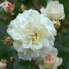 Hybrid Musk Rose: Rosa 'Prosperity' (U.K., 1919)