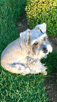 Ranked as one of the most popular dog breeds in the world, the Miniature Schnauzer is a cute little square faced furry coat. Miniature Schnauzer Puppies, Schnauzer Puppy, Schnauzers, I Love Dogs, Cute Dogs, Most Popular Dog Breeds, Dog Pin, Scottish Terrier, Mans Best Friend