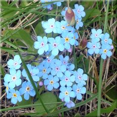 Wild About Flowers is a supplier of authentic native perennial Forget Me Nots (Myosotis asiatica) wildflower seeds and plugs for use in self-sustainable, waterwize gardening and landscaping. Planting Seeds, Planting Flowers, Xeriscape Plants, Diy Plant Stand, Crepe Paper Flowers, Wildflower Seeds, Growing Seeds, Flower Photos, Amazing Flowers