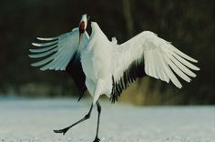 The Red-crowned Crane (Grus japonensis), also called the Japanese Crane or Manchurian Crane (Chinese: 丹顶鹤 or 丹頂鶴; Hanyu Pinyin: Dāndǐng Hè; Japanese: 丹頂 or タンチョウ, tancho; the Chinese character '丹' means 'red', '頂/顶' means 'crown' and '鶴/鹤' means 'crane'), is a large east Asian crane and among the rarest cranes in the world. In some parts of its range, it is known as a symbol of luck, longevity and fidelity.