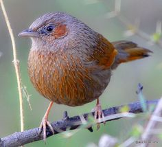 Striated Laughing Thrush