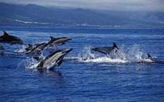 It is possible to snorkel among four species of dolphin - Common, Atlantic Bottlenose, Atlantic Spotted and Risso's | via @Telegraph #azores #portugal