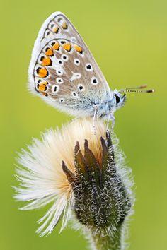 """Common Blue by Simon Roy on 500px / """"Borboleta parece flor que o vento tirou pra dançar."""" (Fernando Anitelli)"""