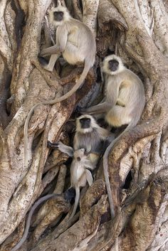 """Hanuman Langur - Semnopithecus entellus Commonly known as Bengal Hanuman Langur, and Northern Plains Gray Langur, Semnopithecus entellus (Primates - Cercopithecidae) is one of several..."