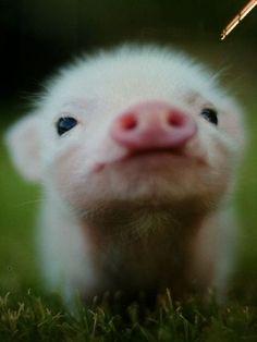 I want a tea cup pig