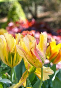 Yellow artist Viridiflora tulips