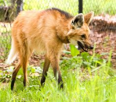 61 Best Maned Wolf images in 2015 | Maned wolf, Wolves