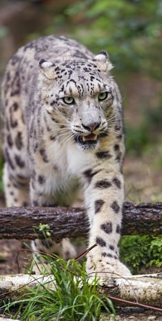 https://flic.kr/p/uRee1j | Samira walking over the branch | Samira the snow leopardess walking over a branch during the tour of her enclosure...