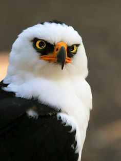 Black-and-white hawk-eagle (Spizaetus melanoleucus)