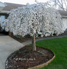 Miniature Landscape Trees Best Dwarf Trees Ideas On Dwarf . Dwarf Trees For Landscaping, Outdoor Landscaping, Front Yard Landscaping, Garden Trees, Lawn And Garden, Trees To Plant, Small Trees For Garden, Weeping Cherry Tree, Small Weeping Trees
