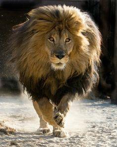 The African Beautiful Lion Kin